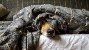 毛布に包まった犬